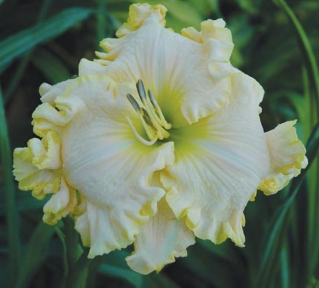 Boundless Beauty / Price: $20 / Year: 2005 / Hybridizer: Stamile
