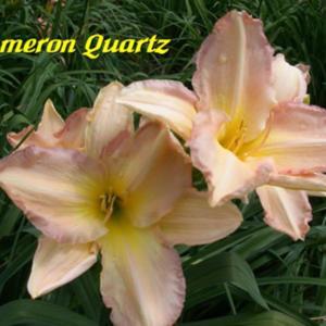 Cameron Quartz / Price: $10 / Year: 1979 / Hybridizer: Holman