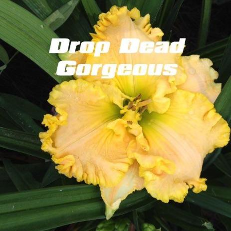 Drop Dead Gorgeous / Price: $20 / Year: 2005 / Hybridizer: Salter