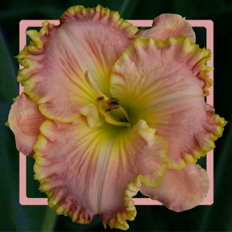 Almost Persuaded / Price: $25 / Year: 2014 / Hybridizer: Bell