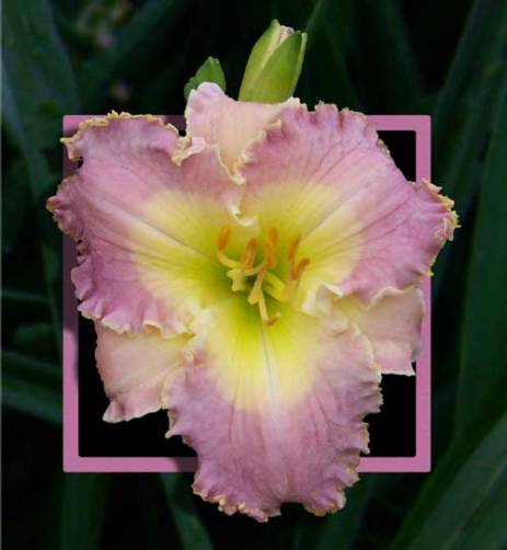 Angels Over Me / Price: $20 / Year: 2012 / Hybridizer: Bell