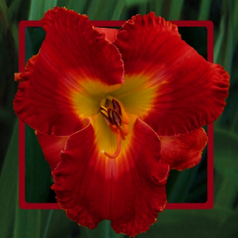Blazing Offering / Price: $40 / Year: 2014 / Hybridizer: Bell
