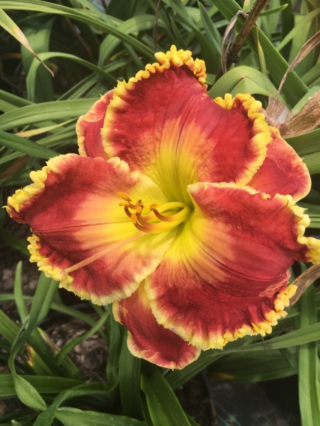 Blindingly Beautiful / Price: $40 / Year: 2013 / Hybridizer: Harry