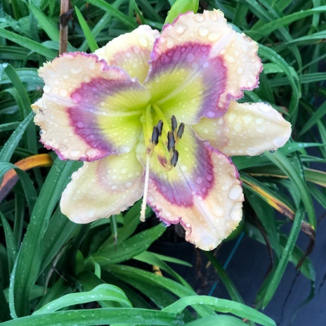 Butterfly Shores / Price: $25 / Year: 2014 / Hybridizer: Pierce