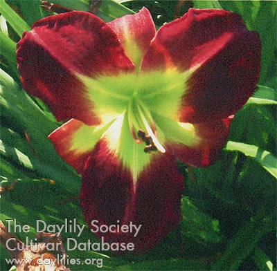 Canoochee Ruby / Price: $20 / Year: 2009 / Hybridizer: Lane