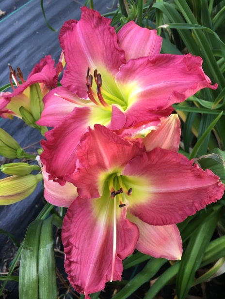 Different for Girls / Price: $50 / Year: 2011 / Hybridizer: Tanner