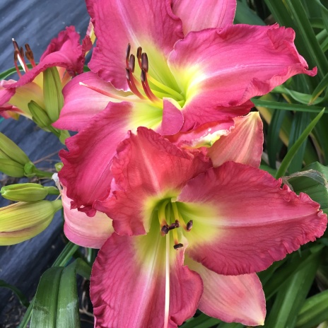 Different for Girls / Price: $40 / Year: 2011 / Hybridizer: Tanner