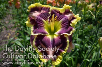 Dueling Colors / Price: $75 / Year: 2016 / Hybridizer: Pierce